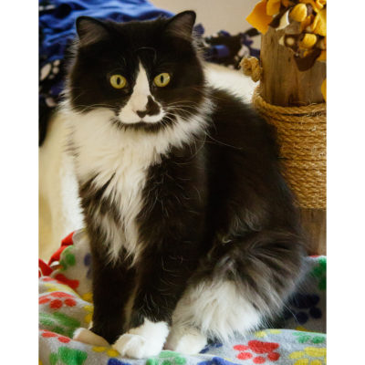 Beamer is a long furred black and white male.