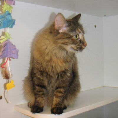 Bobbie is female golden tabby with medium fur.