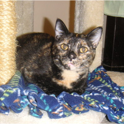 Ginger is a small female torti with a tan chest.
