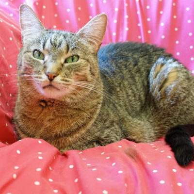 Joy is a beautiful brown tabby with green eyes.