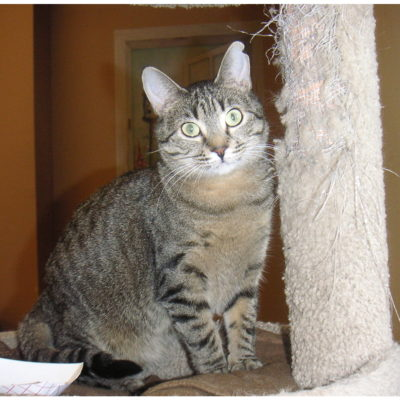 Juno is a small brown female tabby.
