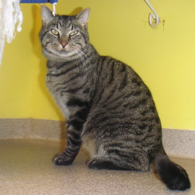 Justin is a quiet brown male tabby.