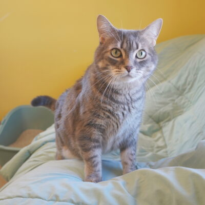 Lois is a gray female tabby