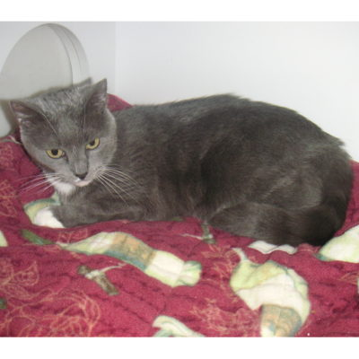 Mia is a small gray female with white paws.