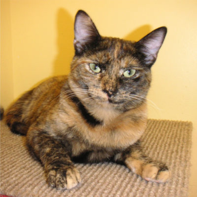 Patches is a beautiful female golden tortie.