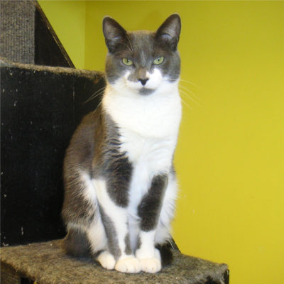 Prancie is a gray and white female cat.