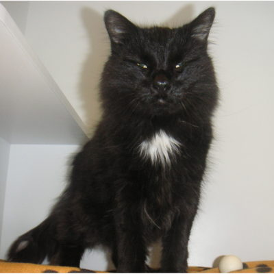 Simon is a long furred black male with silver highlights.