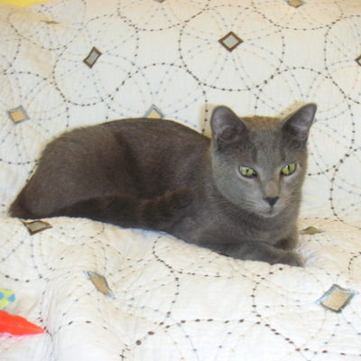 Slate is is a gray male with hints of black stripes in his tail.