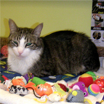 Teddy is an  energetic brown male tabby cat.
