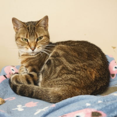 Toni is a beautiful golden brown female tabby cat.