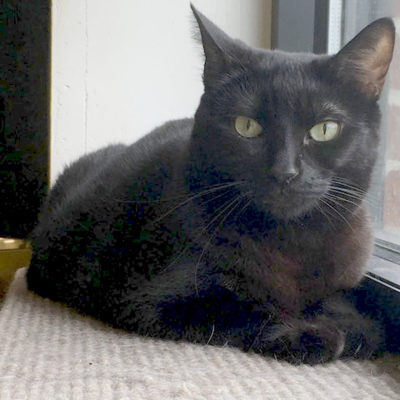 Willow is a lovely black female cat.