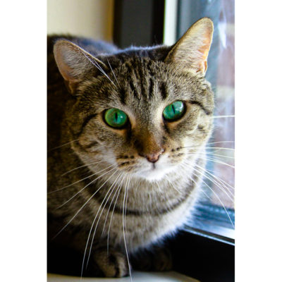 Bambi is a female tabby with striking green eyes