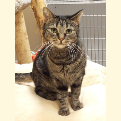 Glory is a petite female tabby cat.